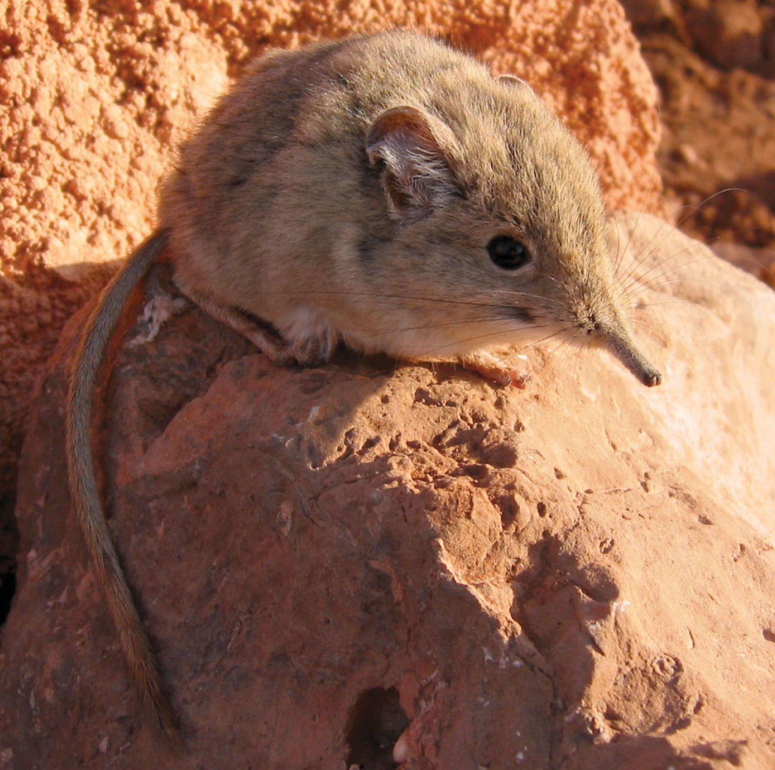 Elephant shrew rediscovered after lost to science for 50 years